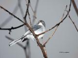 Blue Gray Gnatcatcher IMG_5579.jpg