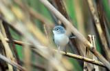 Blue Gray Gnatcatcher IMG_5585.jpg