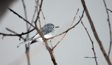 Blue-gray Gnatcatcher IMG_5576.jpg