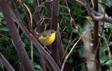 Common Yellow-throat IMG_5937.jpg