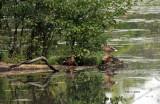 Ducks on Canal IMG_6097.jpg