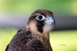Barbary Falcon IMG_8026.jpg