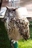 Eurasion Eagle Owl IMG_7997.jpg
