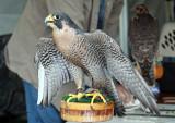 Peregrine Falcon IMG_7949.jpg