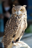 Pharaoh Eagle Owl IMG_7987.jpg
