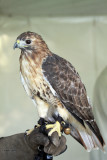 Red-tail Hawk IMG_7982.jpg
