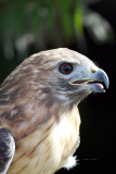 Red-tail Hawk IMG_8049.jpg