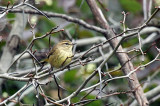 Palm Warbler IMG_9199.jpg