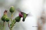 Ruby-throat Hummingbird IMG_8656.jpg