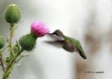 Ruby-throat Hummingbird IMG_8662.jpg
