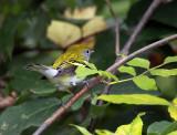 Chestnut-sided Warbler IMG_9717.jpg