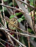 Lincoln Sparrow IMG_9497.jpg