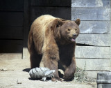 Coco the Grizzly IMG_1269.jpg