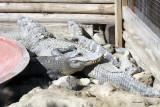 Croc-Agator Alley IMG_1168.jpg