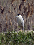 Black-capped Heron IMG_4412.jpg