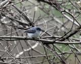Blue-gray Gnatcatcher IMG_2997.jpg