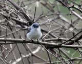 Blue-gray Gnatcatcher IMG_3006.jpg