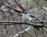 Blue-gray Gnatcatcher IMG_3008.jpg