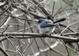 Blue-gray Gnatcatcher IMG_3019.jpg