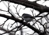 Blue-gray Gnatcatcher IMG_3041.jpg