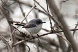 Blue-gray Gnatcatcher IMG_3059.jpg