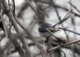 Blue-gray Gnatcatcher IMG_3069.jpg