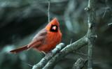 Cardinal IMG_4109.jpg