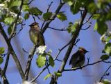 Cedar Waxwings IMG_4440.jpg