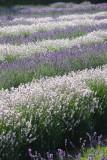 Lavender Sea