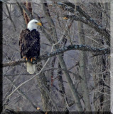 Baldwinsville New York's Wintering Eagles