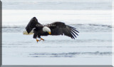The Eagle Searches For It's Meal In The Ice's Openings
