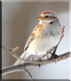 An American Tree Sparrow (Spizella arbor)