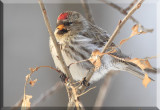 The Common Redpoll Finds Another Perch