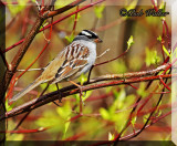 The White-crowned Sparrow (Zonotrichia leucophrys) Gallery