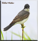 Eastern Kingbird Had An Eye On Me