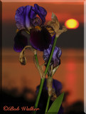 Iris At Sunset On The Shore Of Lake Ontario