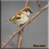 House Sparrow (Passer domesticus) Gallery