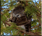 The Northern Saw-whet Owl Gallery