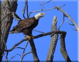 So Goes The Start Of The 2012 American Bald Eagle Season