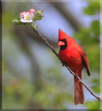 The Colorful Northern Cardinal Gallery