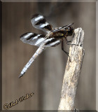 Another Pose Of The Twelve-spotted Skimmer