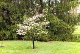 Flowering Dogwood - Pink