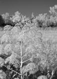 Weeds Along a Rural Road