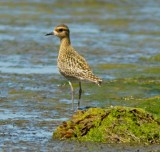 pacific_golden_plover_2