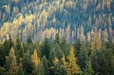 Yellow and Green Larches