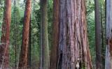 Sequoia woods