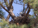 3-18-11 6026 on nest.jpg