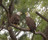 4-21-11 2679 eagle pair.jpg