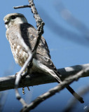 IMG_4822 Young Falcon Aug 16