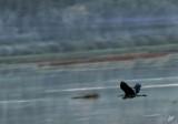 IMG_5027 Blue Heron